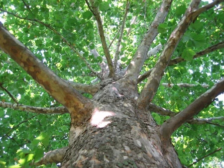 american_sycamore_tree_450_1